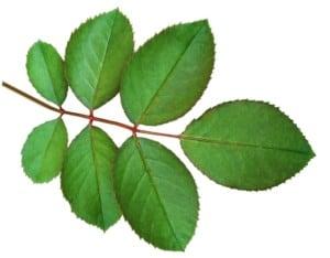 バラの葉っぱ:rose leaf